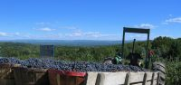 GFW-wagonload-grapes-view.jpg